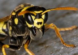 Wespen weren van het terras